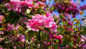 De boom van Crabapple van de Malusroyalty met bloemen in dichte omhooggaand van de ochtendzon De Bloesem van de appel stock foto