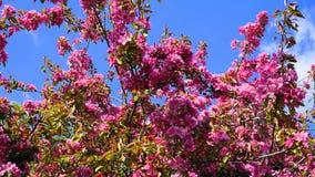 De boom van Crabapple van de Malusroyalty met bloemen in dichte omhooggaand van de ochtendzon De Bloesem van de appel royalty-vrije stock afbeeldingen