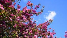 De boom van Crabapple van de Malusroyalty met opzichtige en heldere bloemen tegen blauwe hemelachtergrond De Bloesem van de appel stock afbeelding