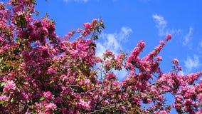 De boom van Crabapple van de Malusroyalty met opzichtige en heldere bloemen tegen blauwe hemelachtergrond De Bloesem van de appel stock foto