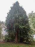 De boom van Cyprus op nevelige de herfstochtend Royalty-vrije Stock Foto