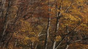 De boom van de dalingsherfst in bos stock footage