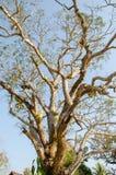 de boom van de 100 éénjarigenmango Royalty-vrije Stock Foto's