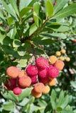 De boom van de aardbei, (corbezzolo in Italiaans). Stock Foto's