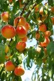 De boom van de abrikoos Royalty-vrije Stock Fotografie