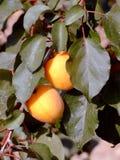 De boom van de abrikoos Stock Afbeeldingen