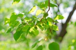 De boom van de abrikoos Royalty-vrije Stock Afbeeldingen