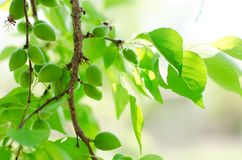 De boom van de abrikoos Stock Foto