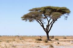 De boom van de acacia Stock Foto's