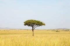 De boom van de acacia in Afrika Stock Afbeeldingen