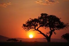 De boom van de acacia bij Afrikaanse zonsondergang Royalty-vrije Stock Foto