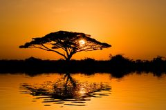 De Boom van de acacia bij Zonsopgang Stock Fotografie
