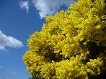 De boom van de acacia in briljante gele blossum Stock Afbeeldingen