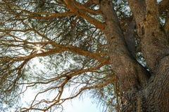 De Boom van de Aleppopijnboom, Australië Royalty-vrije Stock Foto's