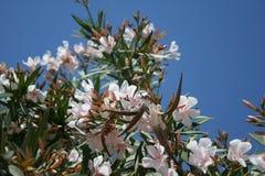 De boom van de amandel Stock Foto's