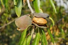 De boom van de amandel Stock Fotografie