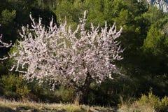 De boom van de amandel Stock Afbeelding