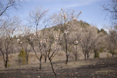 De boom van de amandel in bloesem Royalty-vrije Stock Foto's