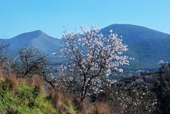 De boom van de amandel in bloesem, Andalusia, Spanje. Royalty-vrije Stock Foto's