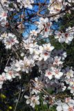 De boom van de amandel in bloesem, Andalusia, Spanje. Stock Fotografie