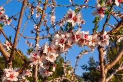De boom van de amandel in volledige bloei Stock Afbeelding