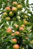 De boom van de appel. Stock Foto's