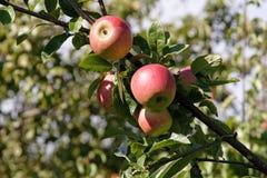 De Boom van de appel Royalty-vrije Stock Foto