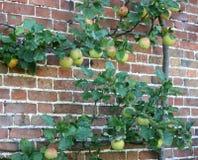 De Boom van de appel. Stock Foto