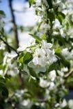 De boom van de appel Royalty-vrije Stock Foto's