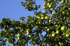 De boom van de appel Stock Afbeelding