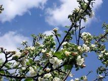 De boom van de appel. Stock Afbeeldingen