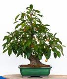 De boom van de appel als Bonsai Stock Fotografie