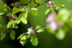 De boom van de appel in bloesem Royalty-vrije Stock Afbeeldingen