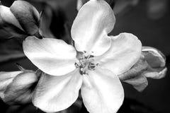 De boom van de appel in bloesem Stock Afbeelding