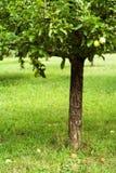 De boom van de appel in boomgaard stock foto