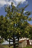 De boom van de appel in een boomgaard Stock Foto's