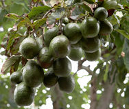 De boom van de avocado Stock Foto's