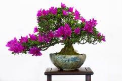 De boom van de azalea als bonsaiboom Stock Foto