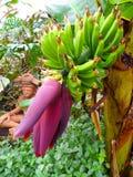De boom van de banaan Royalty-vrije Stock Foto's