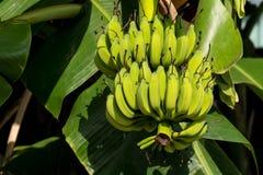 De boom van de banaan Royalty-vrije Stock Fotografie