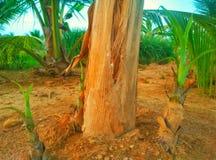 De boom van de banaan stock afbeelding