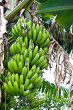 De boom van de banaan het groeien bananen Royalty-vrije Stock Foto