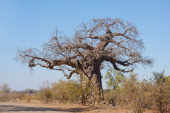 De Boom van de baobab Stock Afbeelding