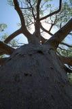 De boom van de baobab Stock Afbeeldingen