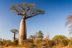 De boom van de baobab, Madagascar stock afbeeldingen