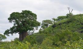 De boom van de baobab op een heuvel met een nabijgelegen adelaar Stock Foto's