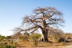 De Boom van de baobab op Kubu Eiland, Botswana stock afbeeldingen