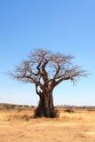 De boom van de baobab in savanne Stock Afbeeldingen