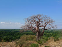 De boom van de baobab - Serengeti (Tanzania, Afrika) Stock Afbeeldingen