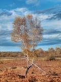 De boom van de berk Royalty-vrije Stock Afbeelding